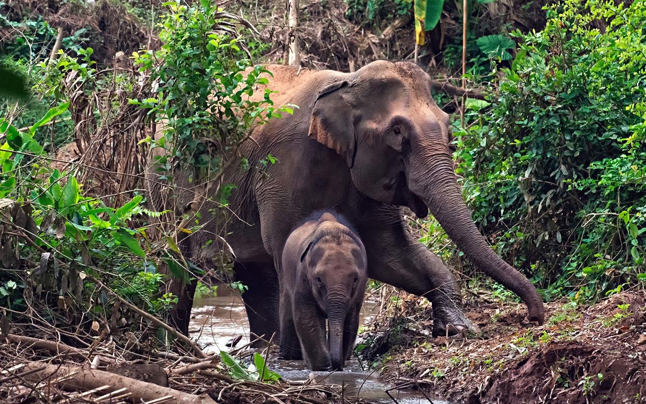 Mandalao Elephant Luang Prabang