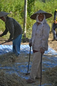 Khmu woman rice harvest Laos Luang Prabang