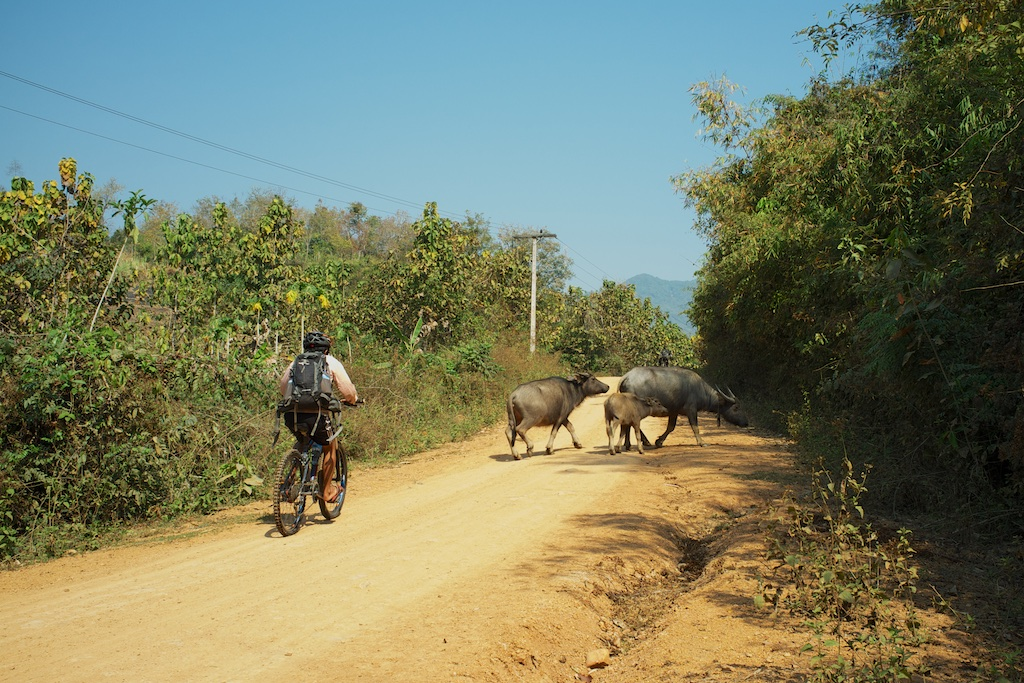 laos-luang-prabang-biking-buffalos-rural-life-village-dirt-road-dry-season