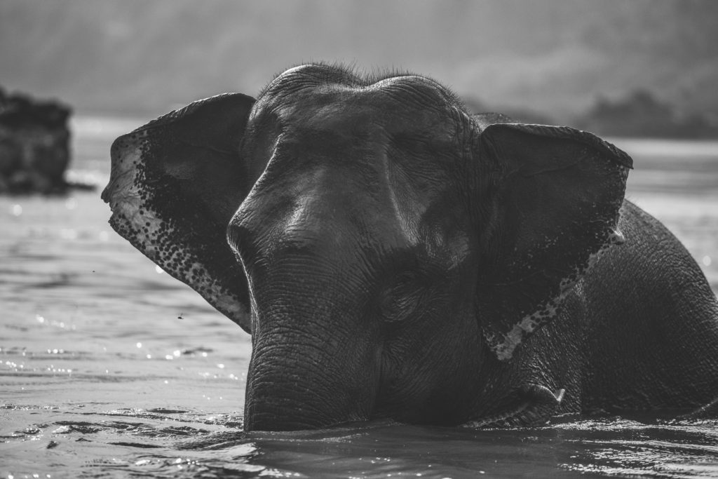 Single elephant taking a bath in the Mekong River.