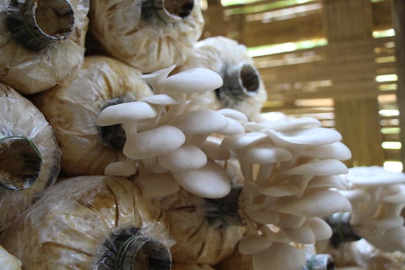 oyster mushroom grow bags